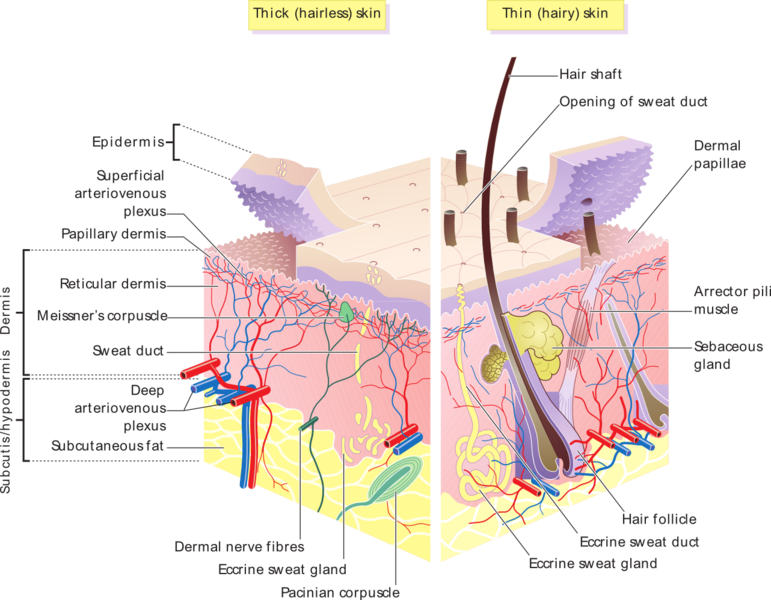 Human Skin Anatomy Structure Of Epidermis And Dermis