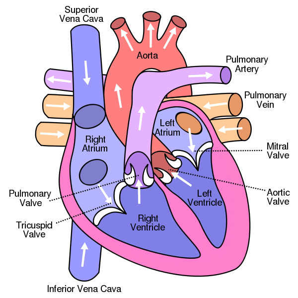 Two coronary arteries (CA), originating from the beginning of the aorta,