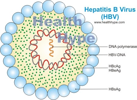 drug induced hepatitis recovery time