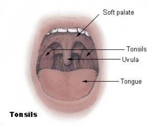 Anatomy and Function of the Uvula