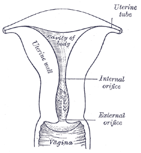 Parts Of The Vagina Human Female Pictures Healthhype Com