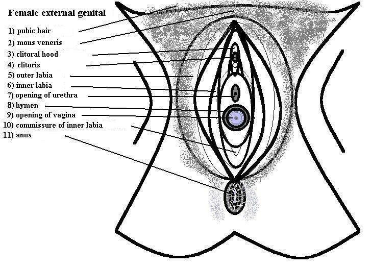 parts of the vagina  human female   pictures