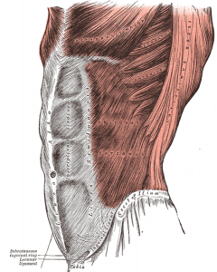 abdmuscles