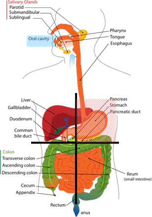 abdominal pain, picture of abdominal quadrants with organs, Cephalic Vein