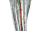 Anterior Tibial Artery