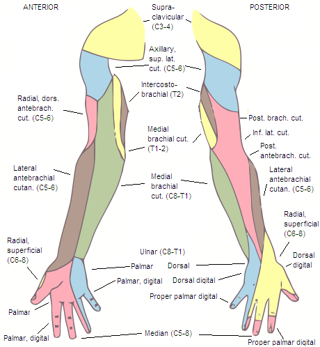 arm_hand_dermatomes.png