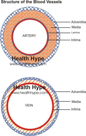 arteries and veins diagram. Both the arteries and veins