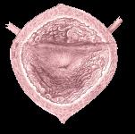 bladder internal