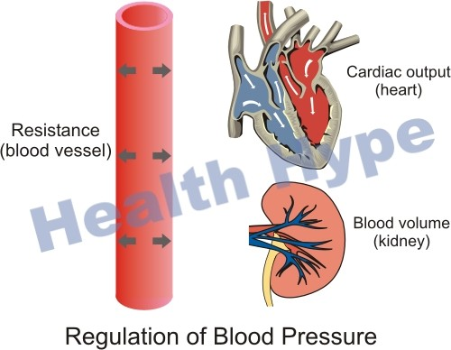 hypotension – abnormally low blood pressure problems | healthhype, Skeleton