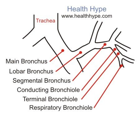 Bronchus