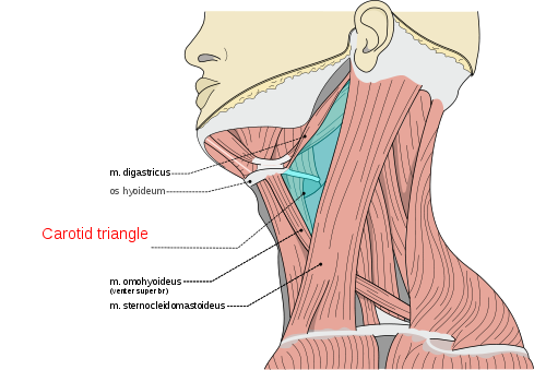 what and where is the neck carotid artery? common, internal, Human Body