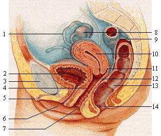 Les douleurs dans le côté du dos à droite