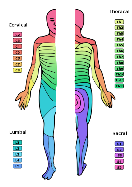 Dermatomes of Human Skin
