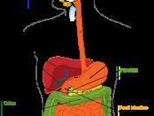 digestive_system_diagram_gut_anatomy