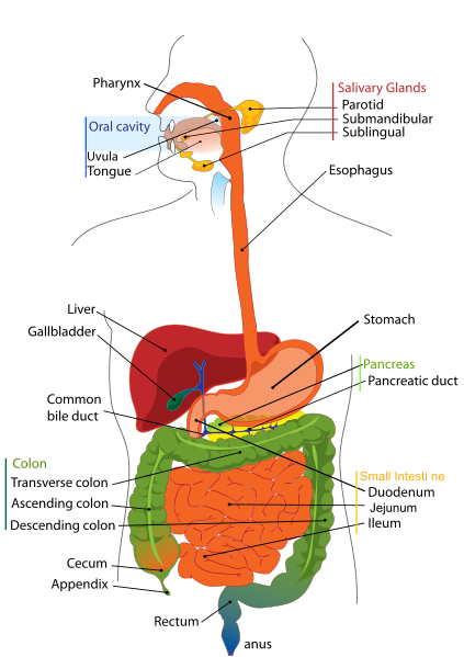 Anatomy of digestive system, small and large intestine (bowel)