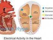 Electrical Activity in the Heart