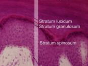 epidermal layers