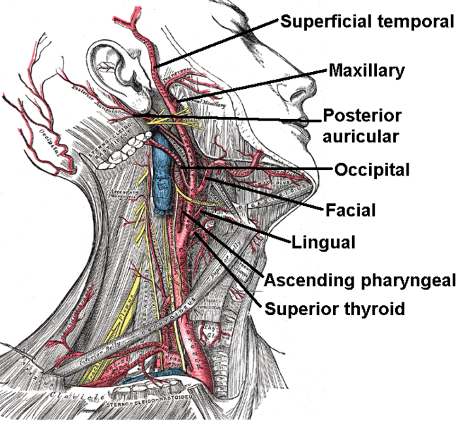 What and Where is the Neck Carotid Artery? Common, Internal ...