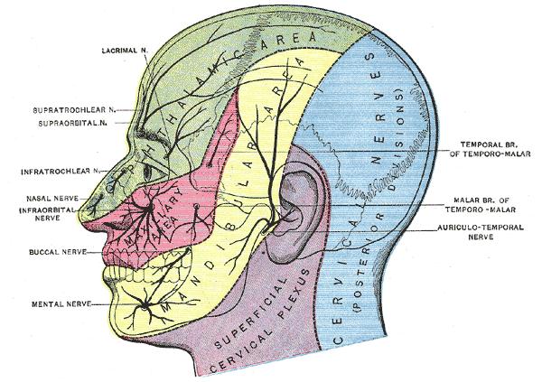 facial innervation