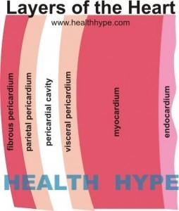 heart layers