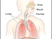 Human Diaphragm
