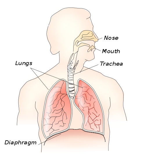 diaphragm (human thorax) location, anatomy, function and position, Human body