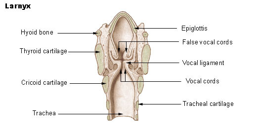 Larynx with the vocal cords