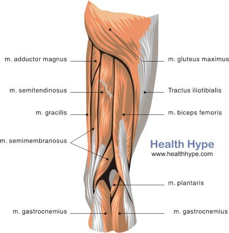 thigh muscles diagram pictures list of actions healthhype  : hamstring muscles diagram - findchart.co