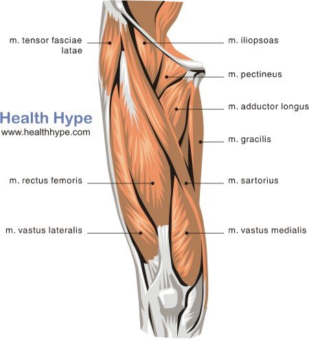Thigh Muscles Diagram, Pictures, List of Actions | Healthhype.com