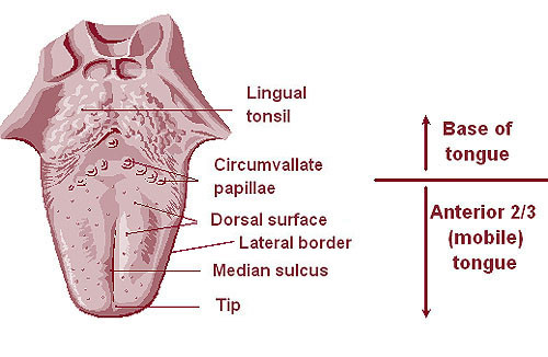 What is the Pharynx and Tonsils? Function, Location, Pictures ...