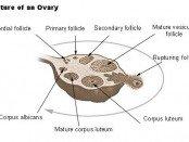 Ovary