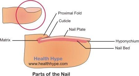 Parts of The Nail