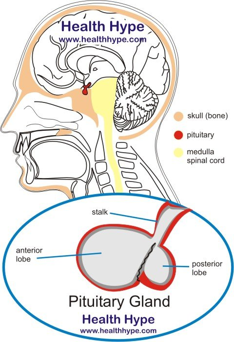 pituitary gland anatomy, location, hormones and pictures, Cephalic Vein