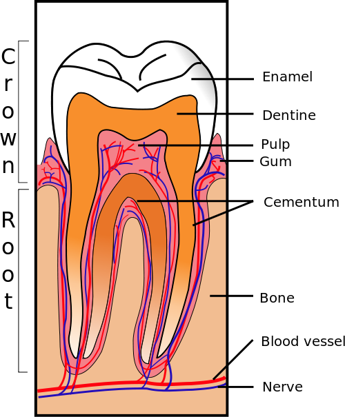 Periapical Abscess (Pus at Tooth Root) | Healthhype.com