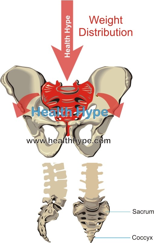 sacrum and coccyx tailbone of the spine anatomy and