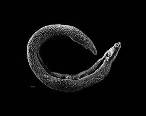 schistosome worm