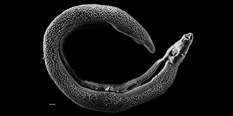 schistosome worm
