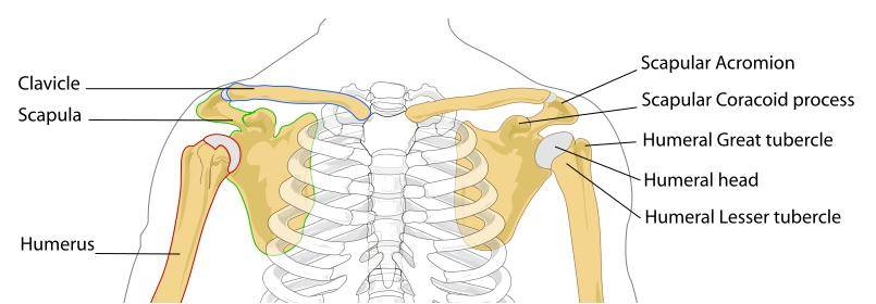 shoulder pain causes and other symptoms | healthhype, Cephalic Vein