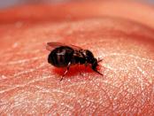 simulium fly