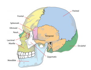 Parts of the Skull
