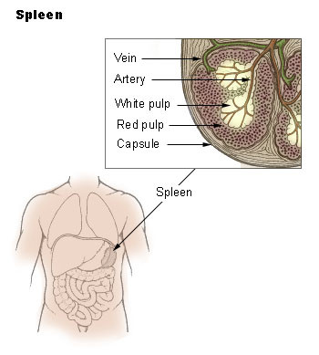 spleen location, anatomy and function | healthhype, Human Body