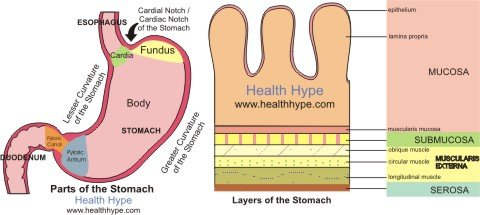 What is a Stomach Polyp? Gastric Polyps Types, Causes, Symptoms