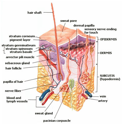 Malignant sweat gland tumours: an update. | Docphin