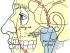 temporal artery