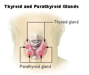 Paraythroid Gland Location, Anatomy, Blood and Nerve Supply ...