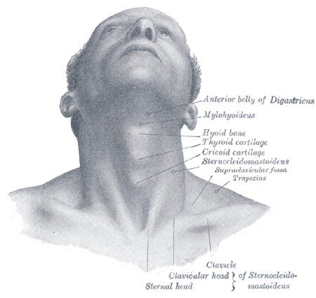 thyroid gland location, anatomy, parts and pictures | healthhype, Cephalic Vein