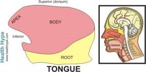 Parts of the Tongue
