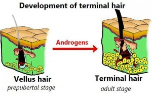 vellus hair and terminal hair
