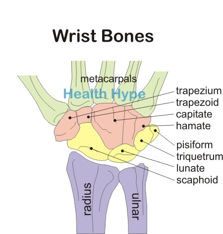 wrist joint, hand and finger joints and bones (pictures, Sphenoid