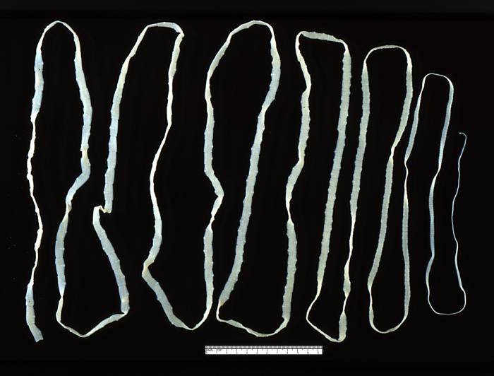 Dog tapeworm - Taenia saginata